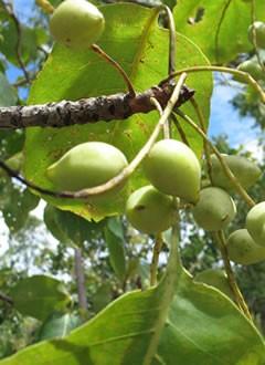 Kakadu Plum - Australian Native Superfruits