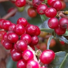 Brazil - Specialty Coffees from Carmo de Minas