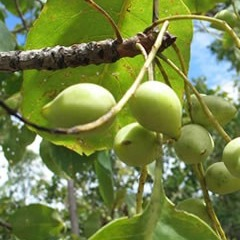 Australia - Kakadu Plum - Australian Native Superfruits