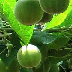 China - Monk Fruit - 200 times sweeter than sugar